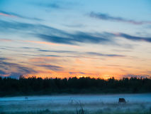 Sunset over cows in a foggy field. Royalty Free Stock Photos