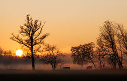 Sunset over cows in a foggy field Royalty Free Stock Photo