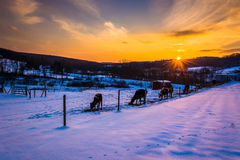 Sunset over cows in a  snow-covered farm field in Carroll County Stock Images