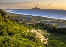 Sunset over Doubtless bay and Rangiputa volcano. With dunes and North island Toetoe pampas grass (Cortaderia toetoe) in front royalty free stock image