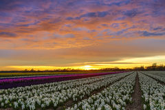 Sunset over a dutch flower field with hyacinth Stock Image