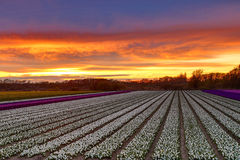 Sunset over a dutch flower field with hyacinths royalty free stock images