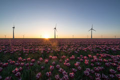 Sunset over Dutch tulip fields with a background of modern windmills Stock Image