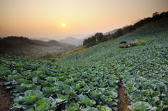 Sunset over a field of cabbage. Stock Photos