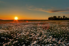 Sunset over a field of chamomile Royalty Free Stock Photo