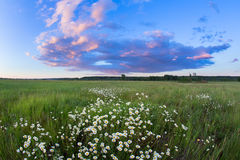 Sunset over a field of chamomile Royalty Free Stock Photos