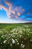 Sunset over a field of chamomile Stock Photos
