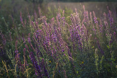 Sunset over the field of clary sage. In summer stock photos