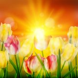 Sunset Over Field of Colorful Tulip. EPS 10. Sunset Over Field of Colorful Tulip Flowers Blooming. And also includes EPS 10 vector Royalty Free Stock Images