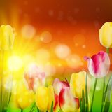 Sunset Over Field of Colorful Tulip. EPS 10 Stock Photos