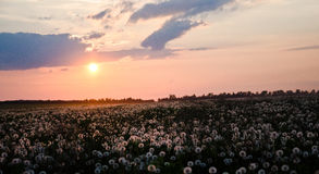 Sunset over field of dandelions Stock Images