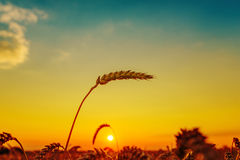sunset over field with harvest Royalty Free Stock Image