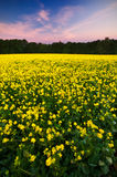 Sunset over a field of oilseed rape Stock Image