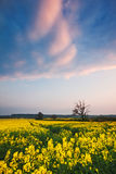 Sunset over a field of oilseed rape Royalty Free Stock Photo