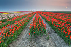 Sunset over field of orange tulips Royalty Free Stock Image