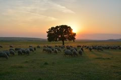 Sunset over field with sheeps. Royalty Free Stock Photos