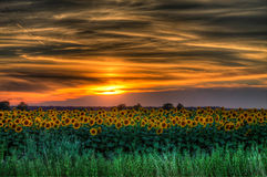 Sunset. Over a field of sunflowers Royalty Free Stock Image