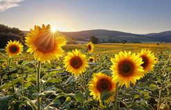 Sunset over the field of sunflowers against a cloudy sky. Beauti Stock Image