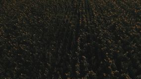 Sunset over the field of sunflowers against a cloudy sky. Beautiful summer landscape. View from above, shooting a quadrocopter stock video footage