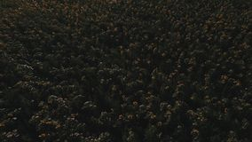 Sunset over the field of sunflowers against a cloudy sky. Beautiful summer landscape. View from above, shooting a quadrocopter stock footage