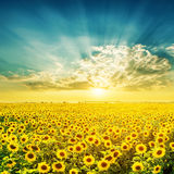 Sunset over field with sunflowers Stock Photo