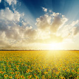 Sunset over field with sunflowers Stock Image