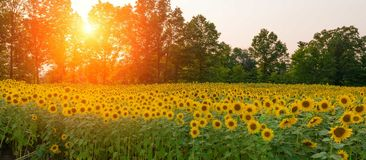 Sunset over a field of sunflowers. This is a panorama of a field of sunflowers as the sun was setting through the trees Royalty Free Stock Image