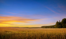 Sunset over field of wheat Royalty Free Stock Photography