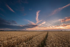 Sunset over a field of Wheat. Sunset over the farmlands tracks lead the eye to the horizon Stock Photos