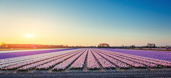 Sunset over fields of daffodils. Holland Stock Image