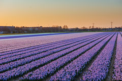 Sunset over fields of daffodils. Holland Stock Photos