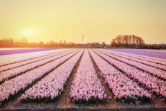 Sunset over fields of daffodils. Holland Royalty Free Stock Photo