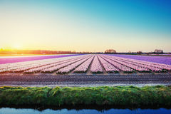 Sunset over fields of daffodils. Holland Stock Images