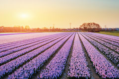 Sunset over fields of daffodils. Holland Royalty Free Stock Image