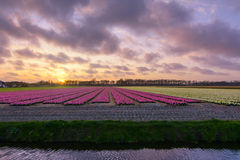 Sunset over flowerfield. The awesome flowerfields of Noordwijkerhout, the Netherlands Royalty Free Stock Photography