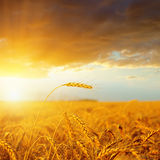 Sunset over golden harvest Royalty Free Stock Photo