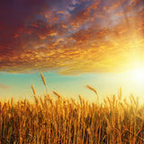 Sunset over golden harvest Royalty Free Stock Photo