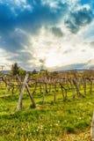 Sunset over grape vineyard Royalty Free Stock Photography