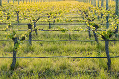 Sunset over grapevine growing in vineyard Stock Photo
