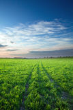 Sunset over green crops Stock Image