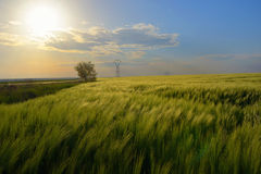 Sunset over green rye field Stock Image