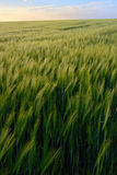 Sunset over green rye field Royalty Free Stock Photo
