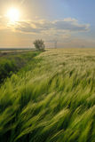 Sunset over green rye field Royalty Free Stock Image