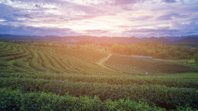 Sunset over green tea plantation over high land skyline. Natural landscape background Royalty Free Stock Images