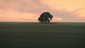 Sunset over green wheat field and lonely tree, aerial video. Beautiful sunset over green wheat field and lonely tree, aerial view stock video footage