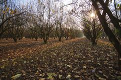 Sunset over the hazelnuts trees. Color image stock photography