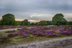 Sunset over heather fields. The Netherlands Stock Photo
