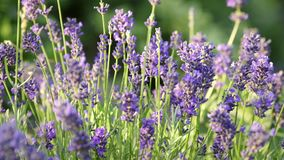 Lavender field at sunset, 4K. Sunset over lavender field, dream aroma stock footage