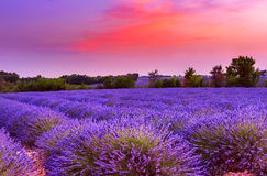 Sunset over lavender field in Provence Royalty Free Stock Image