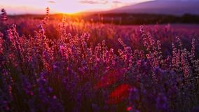 Sunset over lavender fields in Provence in France. The sunsetting on lavender field in Provence, provence-alpes-cote region. Close view of blooming lavender in stock video